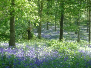 Bluebells at Wenchford