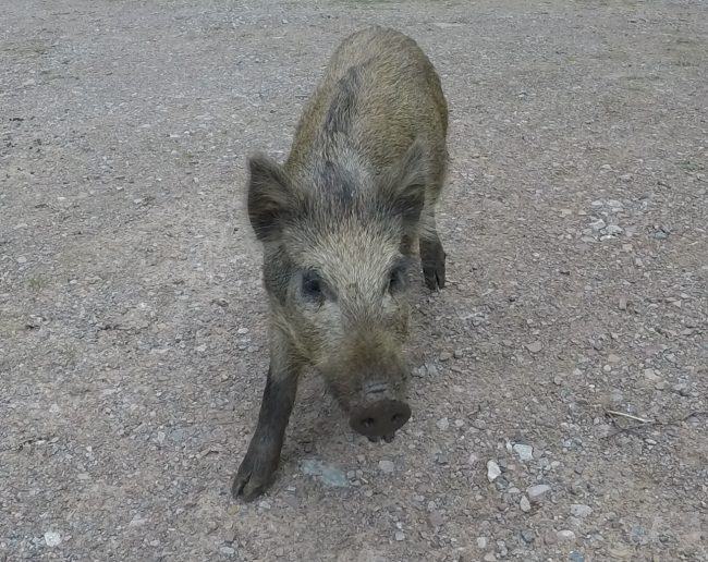 A photo of a young wild boar taken on a walk