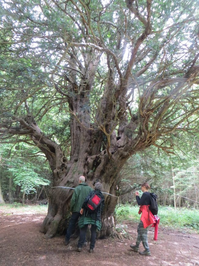 Walkers measure the King Yew