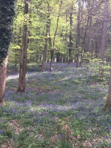 Bluebells by Parkend