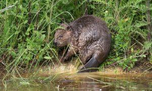 Eurasian beaver in Forest
