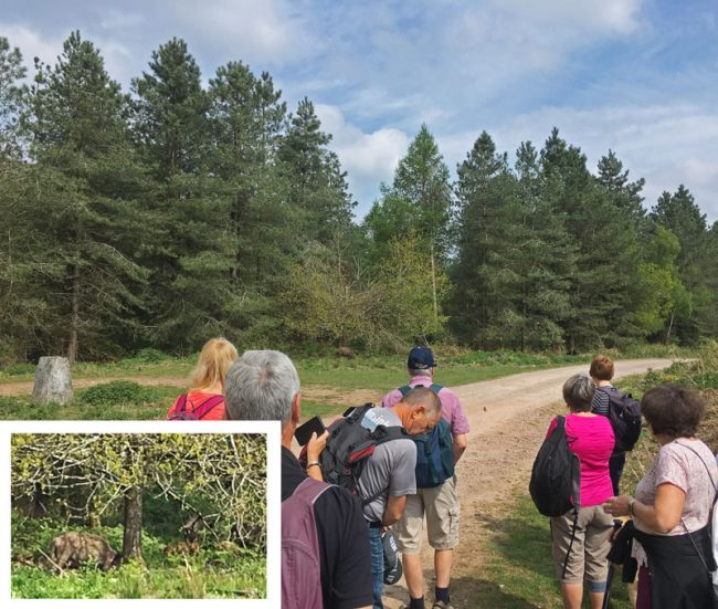 A photo of Walkers viewing a Sounder of Wild Boar at Yorkley Slade