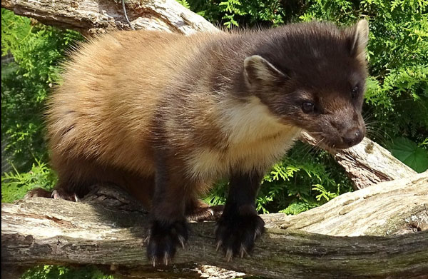 Pine Martens released in the Forest of Dean